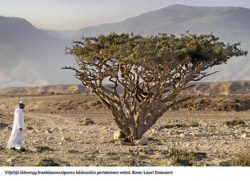 A man approaching a frankinscensnce_tree, Alalah, Oman