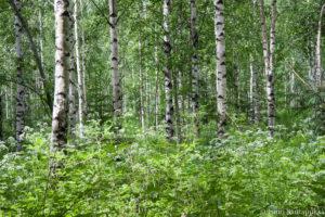 Kuva metsästä, Ismo Santapukki.